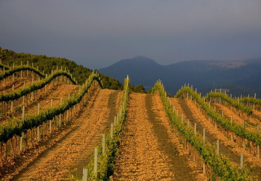 Vinyes de Pla de Manlleu, Aiguamúrcia, Tarragona